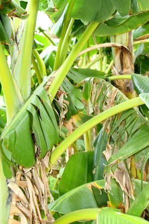 Il Giardino della Kolymbetra: Banano