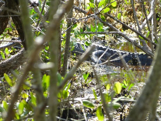 """J.N. """"Ding"""" Darling National Wildlife Refuge: gator off Indigo Trail"""