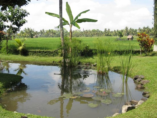 Tegal Sari: West paddy fields--view from close to the reception