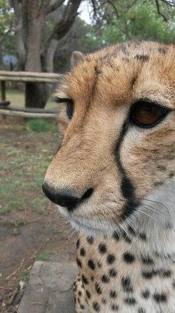 Moholoholo Wildlife Rehab Centre: Cheetah at the centre