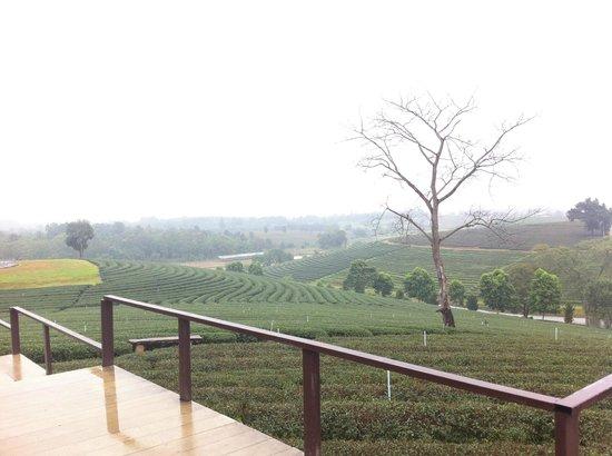 Choui Fong Tea Plantation: ChouiFong Tea view
