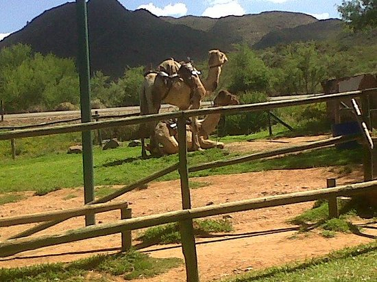 Wilgewandel Holiday Farm: 2 of the very obedient Camels at Wilgewandel