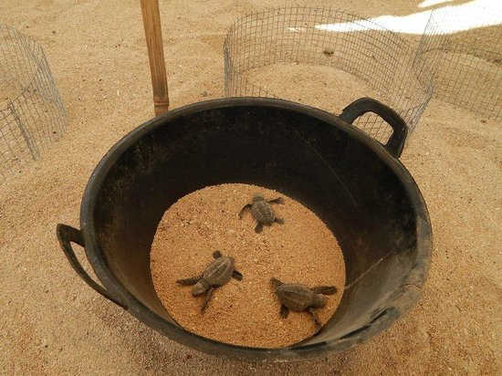 Turtle Conservation and Education Centre: Baby turtles can be removed from the sand once their placenta is dried (normally after 2 days)