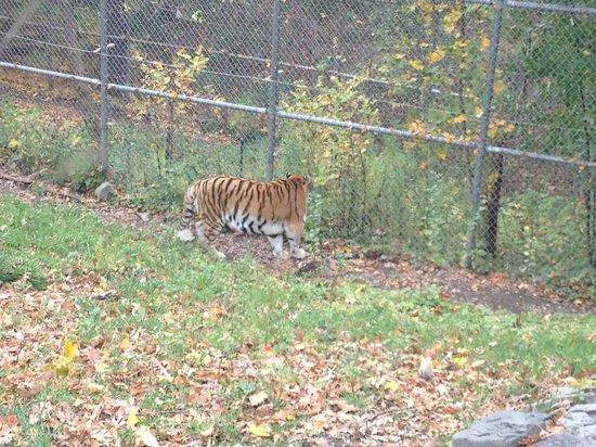 Syracuse, NY: Tiger