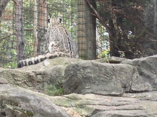 Syracuse, NY: Gray Tiger