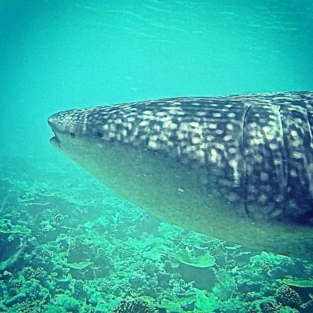 LUX* South Ari Atoll: Swimming with the biggest fish in the ocean! A whale shark :-)