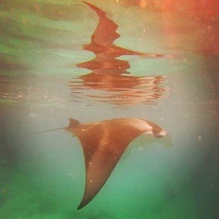 LUX* South Ari Atoll: Magnificent Manta Ray