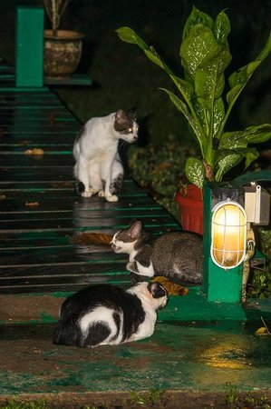 Nature Lodge Kinabatangan: Local cats - well fed!