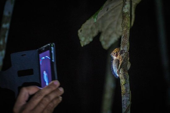 Nature Lodge Kinabatangan: Getting close to a baby tarsier