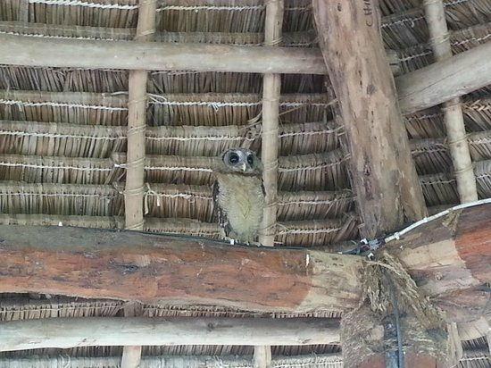 Protea Hotel Mbweni Ruins: owl saved from crows attack