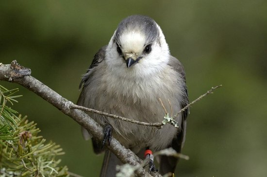 Algonquin Provincial Park, Καναδάς: Gray Jay at Opeongo Road in Algonquin Park