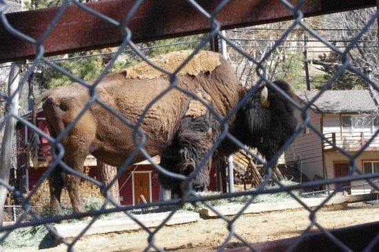 Big Bear Alpine Zoo at Moonridge : bison