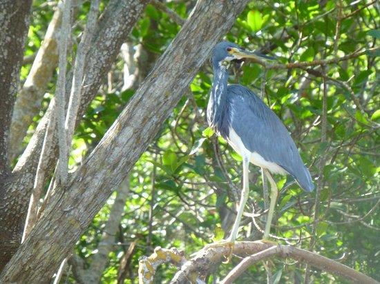 Tarpon Bay Explorers : Heron at Commodore Creek