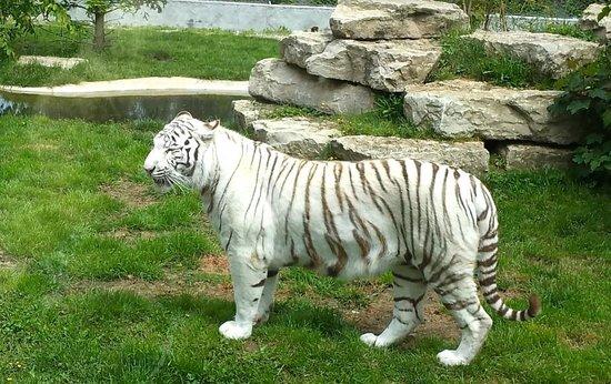 Le Domaine des Fauves : Tigre blanc