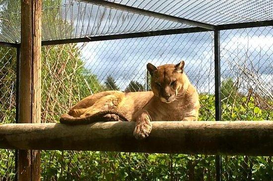 Le Domaine des Fauves : Puma