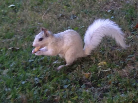 Mayberry's: Brevard The home of the White Squirrel