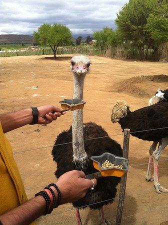 Safari Ostrich Show Farm: oppassen...