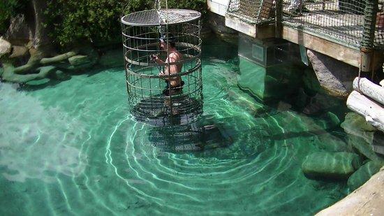 Cango Wildlife Ranch: zwemmen met de krokodillen