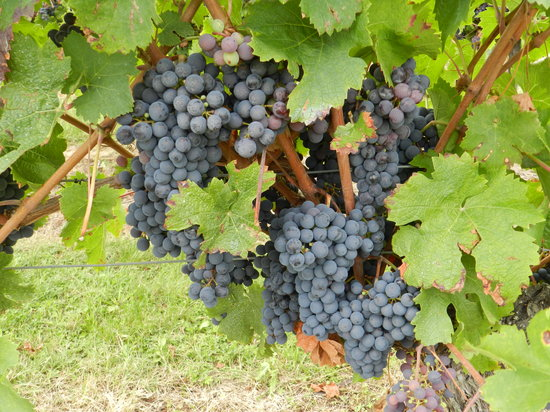Le Grand Chemin De La Vie: grapes from the vineyard at the bottom of our garden