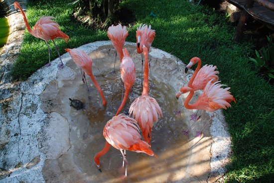 Iberostar Cozumel: The Flamingos out numbered the Guests!