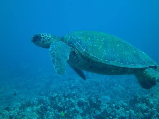 Maui Dreams Dive Co.: swimming with the turtles!