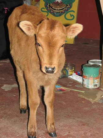 The Secret Garden Cotopaxi: Orphaned pet calf