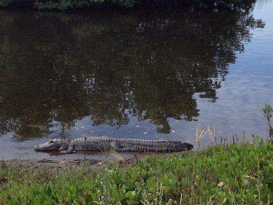 """J.N. """"Ding"""" Darling National Wildlife Refuge: Alligator"""