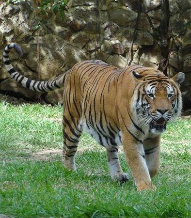 Zoologico de Cali: Tiger