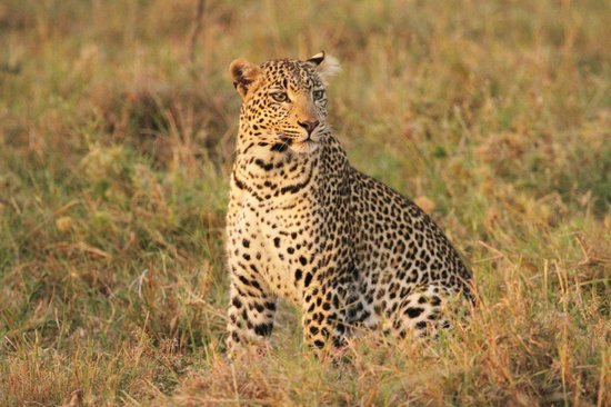 Great Plains Conservation Mara Plains Camp: The Luck of seeing a Leopard