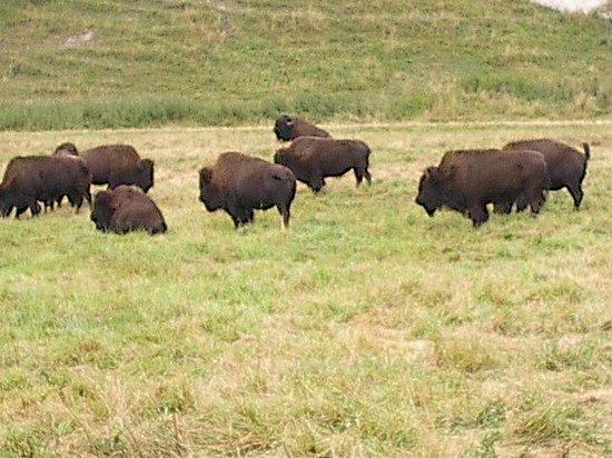 Northwest Trek Wildlife Park: Buffalo on the bus tour