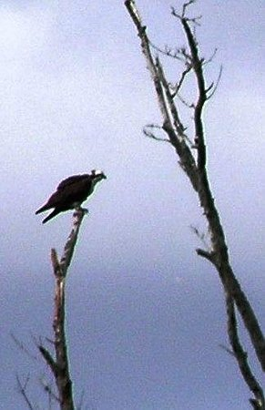 Riverbend Park: Osprey on a tree (viewable from the road)