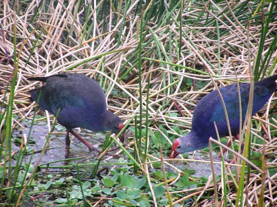 Green Cay Nature Center and Wetlands: Purple Swamphens at Green Cayn Wetlands 11-5-13
