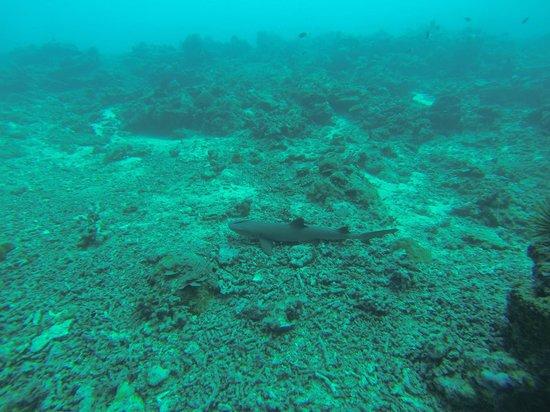 Seaventures Dive Rig: Shark in Sipadan