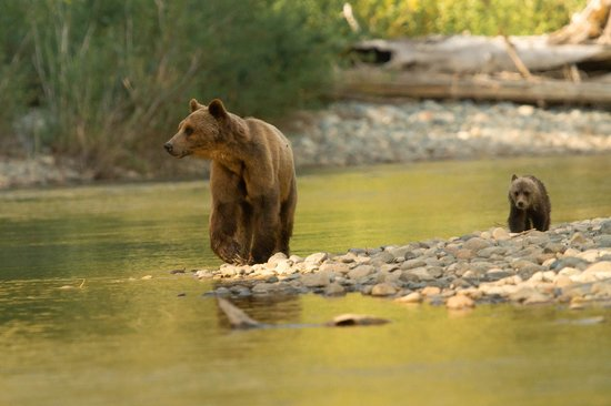 Kynoch Adventures: Grizzly and Cubs