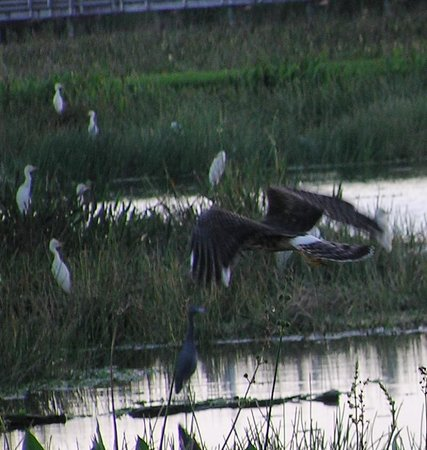 Green Cay Nature Center and Wetlands: Northern Harrier & friends - Green Cay Wetlands 11-1-13
