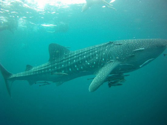 Sairee Cottage Diving: whale sharks, turtles, wrecks = epic