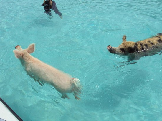 George Town, Great Exuma: The pigs