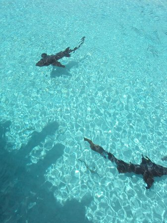 George Town, Great Exuma: The sharks