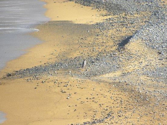 Oamaru Blue Penguin Colony : .