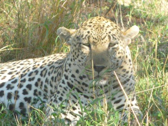 andBeyond Kirkman's Kamp: Leopard