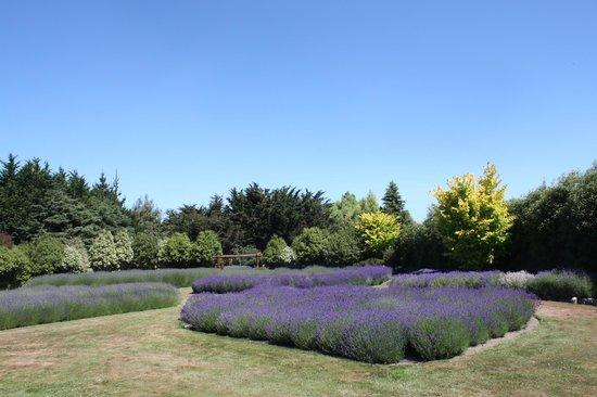 Lavendyl Lavender Farm: Lavendel