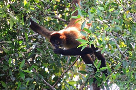 Laguna Lodge Tortuguero: Spider Monkey