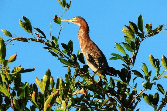 Arenal Manoa Hotel: Tiger Egret