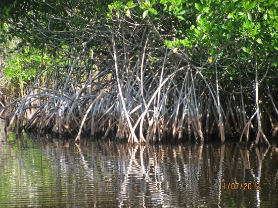 Capt Mitch's - Everglades Private Airboat Tours: Beautiful mangrove trees
