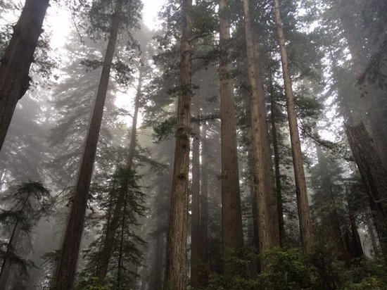 Lady Bird Johnson Grove: Giant Redwoods on the Trail some 300 + ft tall & 2000 yrs old