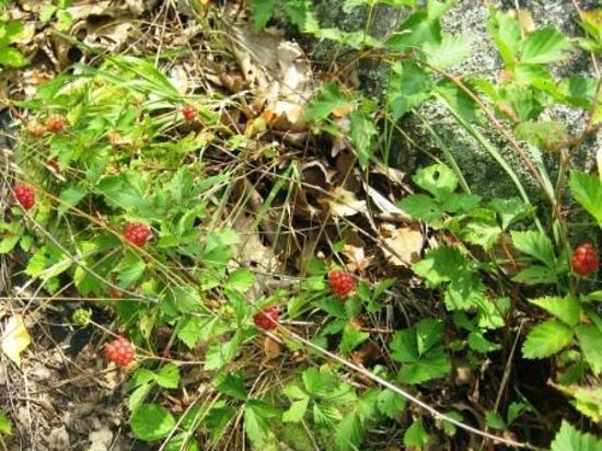 Sterling Forest State Park: raspberries by the trail