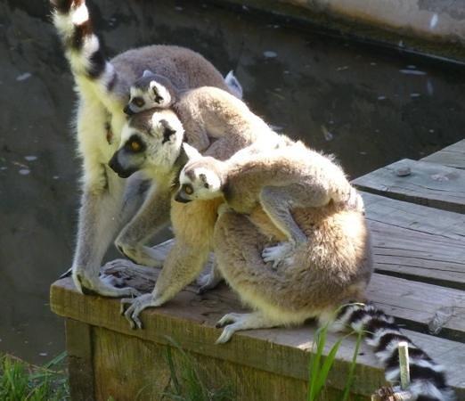 Cango Wildlife Ranch: lemurs