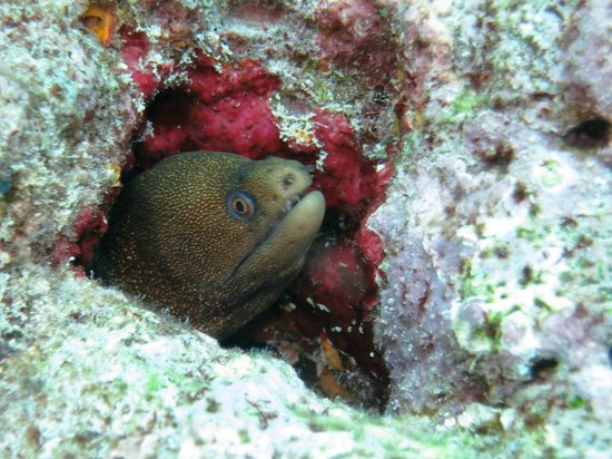 Conch Republic Divers : Small spotted Moray