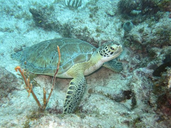 Conch Republic Divers : Green Turtle