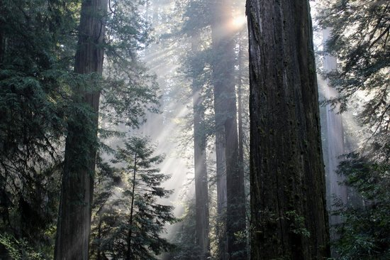 Jedediah Smith Redwoods State Park : Light coming through the Redwoods